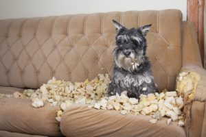 Naughty bad schnauzer puppy dog lies on a couch that she has just destroyed.